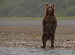 brown-bear-alaska-1360-copyright-photographers-on-safari-com