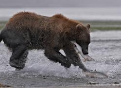 brown-bear-alaska-1361-copyright-photographers-on-safari-com