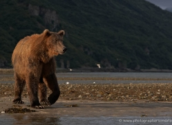 brown-bear-alaska-1362-copyright-photographers-on-safari-com
