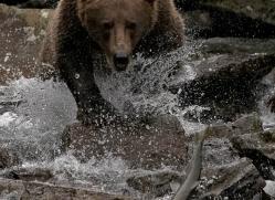 brown-bear-alaska-1367-copyright-photographers-on-safari-com