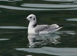 glaucous-gull-alaska-1255-copyright-photographers-on-safari-com