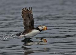 horned-puffin-alaska-1248-copyright-photographers-on-safari-com