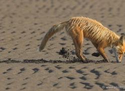 red-fox-alaska-1253-copyright-photographers-on-safari-com