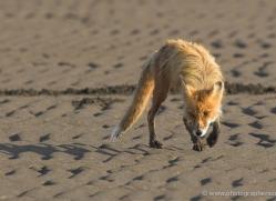 red-fox-alaska-1254-copyright-photographers-on-safari-com