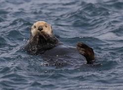 sea-otter-alaska-1230-copyright-photographers-on-safari-com