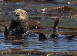 sea-otter-alaska-1232-copyright-photographers-on-safari-com