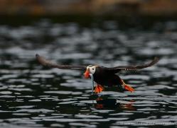 tufted-puffin-alaska-1240-copyright-photographers-on-safari-com
