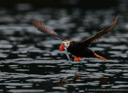 tufted-puffin-alaska-1241-copyright-photographers-on-safari-com