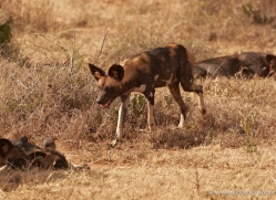 wild-dog-wild-dogs-2763-copyright-photographers-on-safari-com