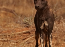 wild-dog-wild-dogs-2779-copyright-photographers-on-safari-com