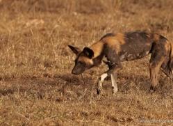 wild-dog-wild-dogs-2781-copyright-photographers-on-safari-com