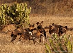 wild-dog-wild-dogs-2808-copyright-photographers-on-safari-com