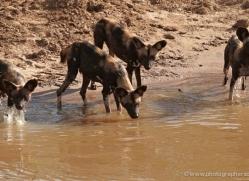 wild-dog-wild-dogs-2811-copyright-photographers-on-safari-com