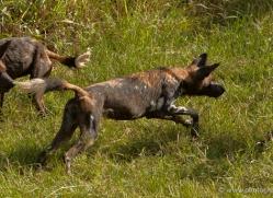 wild-dog-wild-dogs-2819-copyright-photographers-on-safari-com