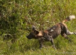 wild-dog-wild-dogs-2825-copyright-photographers-on-safari-com