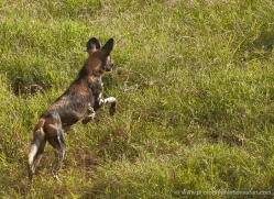 wild-dog-wild-dogs-2829-copyright-photographers-on-safari-com