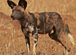 wild-dog-wild-dogs-2830-copyright-photographers-on-safari-com