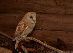 Barn-Owl-copyright-photographers-on-safari-com-6005