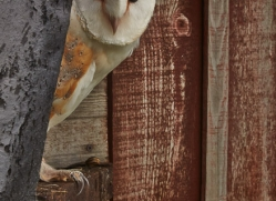 Barn-Owl-copyright-photographers-on-safari-com-6010