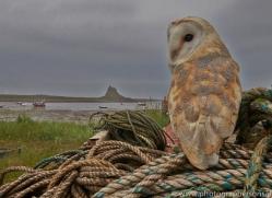 Barn-Owl-copyright-photographers-on-safari-com-6021