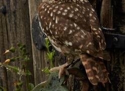 Little-Owl-copyright-photographers-on-safari-com-6051