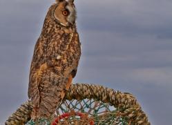 Long-Eared-Owl-copyright-photographers-on-safari-com-6058