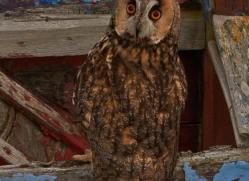 Long-Eared-Owl-copyright-photographers-on-safari-com-6064