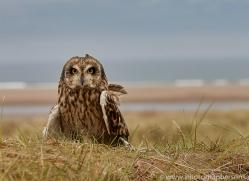 Short-Eared-Owl-copyright-photographers-on-safari-com-6067