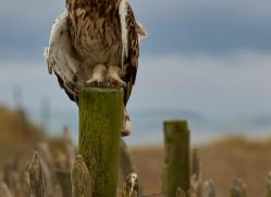 Short-Eared-Owl-copyright-photographers-on-safari-com-6069