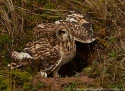 Short-Eared-Owl-copyright-photographers-on-safari-com-6075