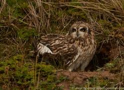 Short-Eared-Owl-copyright-photographers-on-safari-com-6076