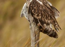 Short-Eared-Owl-copyright-photographers-on-safari-com-6079
