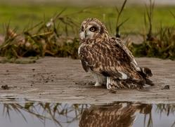 Short-Eared-Owl-copyright-photographers-on-safari-com-6082
