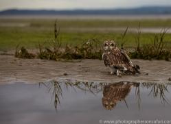 Short-Eared-Owl-copyright-photographers-on-safari-com-6083