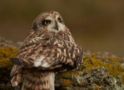 Short-Eared-Owl-copyright-photographers-on-safari-com-6088