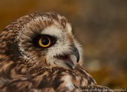 Short-Eared-Owl-copyright-photographers-on-safari-com-6089
