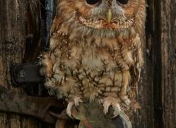 Tawny-Owl-copyright-photographers-on-safari-com-6099