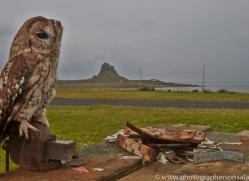 Tawny-Owl-copyright-photographers-on-safari-com-6102