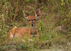 Bushbuck 2014-1copyright-photographers-on-safari-com