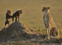 Cheetah 2014-14copyright-photographers-on-safari-com