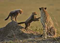 Cheetah 2014-15copyright-photographers-on-safari-com