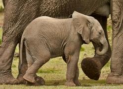 Elephant 2014 -33copyright-photographers-on-safari-com