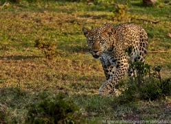 Leopard 2014-11copyright-photographers-on-safari-com
