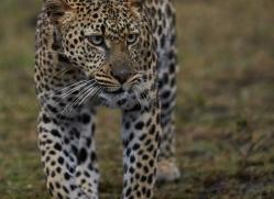 Leopard 2014-13copyright-photographers-on-safari-com