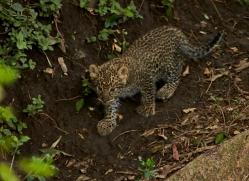 Leopard 2014-20copyright-photographers-on-safari-com