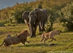 Lion 2014-10copyright-photographers-on-safari-com
