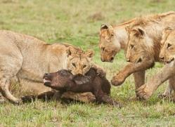 Lion 2014-13copyright-photographers-on-safari-com