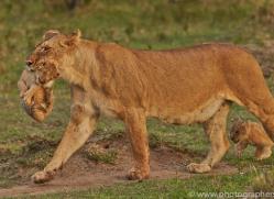 Lion 2014-15copyright-photographers-on-safari-com