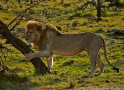 Lion 2014-2copyright-photographers-on-safari-com