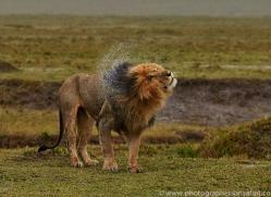 Lion 2014-4copyright-photographers-on-safari-com